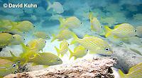 0112-1203  School of French Grunts (Haemulon flavolineatum) and Blue Striped Grunts (Haemulon sciurus) in Caribbean Reef  © David Kuhn/Dwight Kuhn Photography