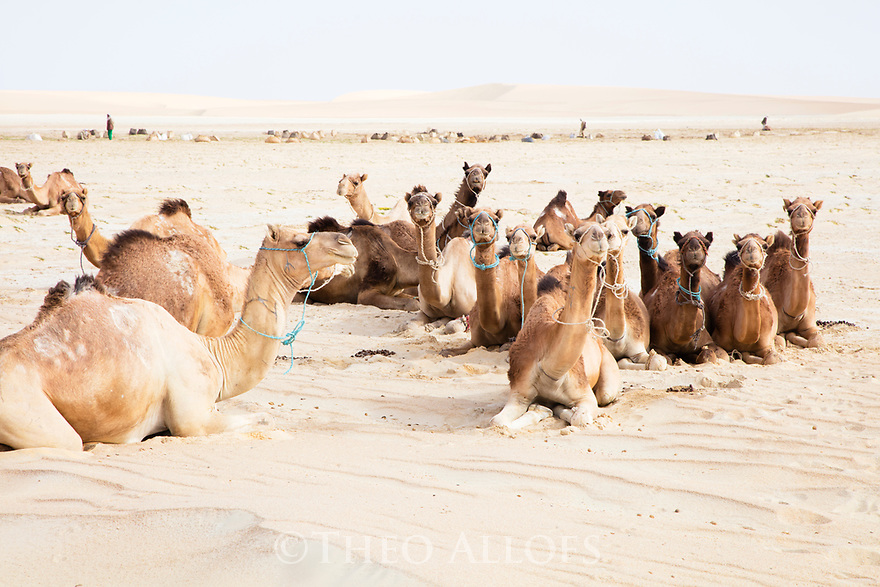 Chad (Tchad), North Africa, Sahara, Borkou District, camels resting while men collect salt crust in salt pan; the salt will be used by camels.