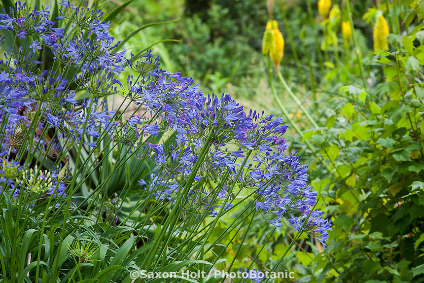 Agapanthus praecox ssp minimus, Lily of the Nile flowering perennial in San Francisco Botanical Garden