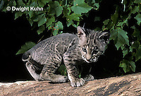 MA26-051z  Bobcat - young - Felis rufus