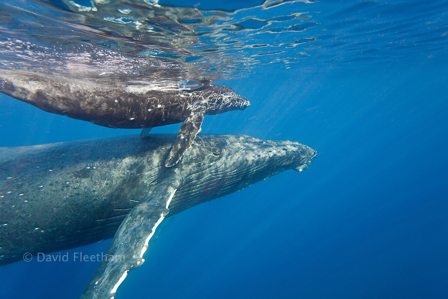 A mother and calf pair of humpback whales, Megaptera novaeangliae, surface off the island of Maui, Hawaii.