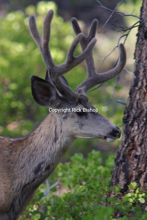 Mule Deer Buck (Obocoileus hemionus) seen up close on a summer day in southern Utah's  Bryce Canyon National Park.
