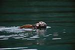 Sea otter and pup, Glacier Bay National Park, Alaska