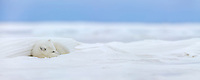 Panorama of Arctic fox in a snow drift on Alaska's Arctic North Slope.