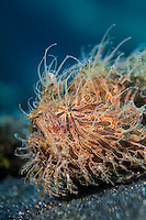Lembeh Hairy Frogfish (Antennarius striatus)