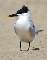 Sandwich tern in March