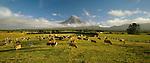 Dairy Cows at sunrise near Mount Taranaki. Taranaki Region. New Zealand.