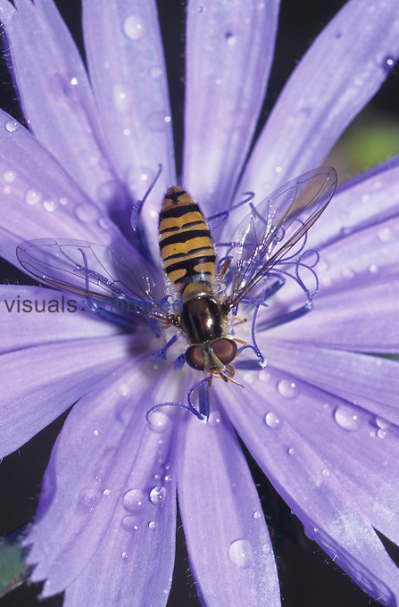 Hover Fly (Episyrphus)