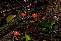 The beautiful Cup Fungi, Cookeina speciosa, on the rainforest floor in Corcovado, Costa Rica