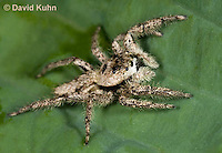 0115-1002  Tan Jumping Spider, Platycryptus undatus  © David Kuhn/Dwight Kuhn Photography