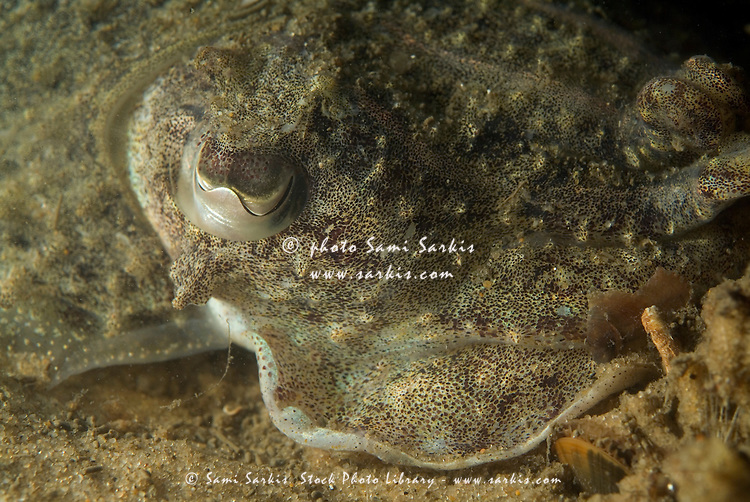 Eye of a common cuttlefish (sepia officinalis).