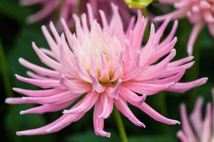 Dahlia 'Pink Princess', early july.