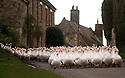 19/11/15<br /> <br /> A flock of 500 geese take their daily morning walk from their barn through the village of Croxton Kerrial, near Grantham. <br /> <br /> The geese spend their day grazing in a field over-looked by the village church in Lincolnshire, before waddling back to their warm barn at Botterill &amp; Sons Freerange Birds at dusk.<br /> <br /> You'll need to be quick if you want to have a gander at these feathery commuters, as the six-month-old birds will all take their last stroll through the village next week as demand for goose on the Christmas dinner table continues to rise year-on-year.<br /> <br /> The farm has a total of 1500 geese and also supplies turkeys, duck and chicken for Christmas.<br /> <br /> The geese have walked through the village for 25 years. The local pub has just been renamed the Geese &amp; Fountain and has a sign that depicts the scene.<br /> <br /> <br /> All Rights Reserved: F Stop Press Ltd. +44(0)1335 418365   +44 (0)7765 242650 www.fstoppress.com