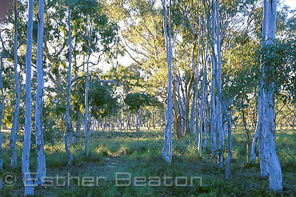 Regrowth of Brittle Gums (Eucalyptus mannifera) ring of sapings around a parent tree. Mulligan's Flat Nature Reserve,  Canberra, Australian Capital Territory