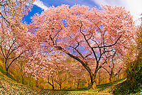 Cherry blossoms, Dumbarton Oaks Gardens, Georgetown, Washington D.C., U.S.A.