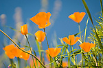 California poppies bloom on the hillside in late winter near the Mokelumne River in the Sierra Foothills as the bare oaks begin to bud near Jackson, Calif.