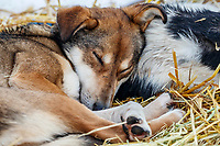 Seth Barnes's dogs sleeping in McGrath, Alaska during the 2019 Iditarod on Wednesday, March 6th 2019.<br /> <br /> Photo by Jeff Schultz/  (C) 2019  ALL RIGHTS RESERVED