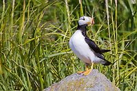Portrait of a horned puffin (Fratercula corniculata) at Ninagiak Island, Alaska