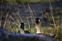 Two Nene on watch in Haleakala National Park on Maui in Hawaii