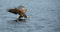White-tailed eagle, Haliaeetus albicilla, diving for fish, Norway coast, Nr Trondheim.