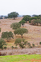 Oak trees in a field. Henrque HM Uva, Herdade da Mingorra, Alentejo, Portugal