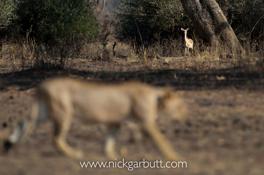 Female African Lion (Panthera leo) walking infront of an alert Impala (Aepyceros melampus). South Luangwa National Park, Zambia.