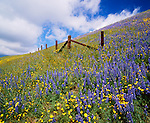 Lupines and California Coreopsis, Tehachapi Mountains, Los Angeles County, California