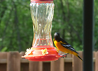 Courtesy photo/ED GENTRY<br /> A Baltimore oriole rests on a hummingbird feeder. Ed Gentry of Rogers took the picture May 3 at his home. The oriole showed up at the feeder five consecutive days, he said.