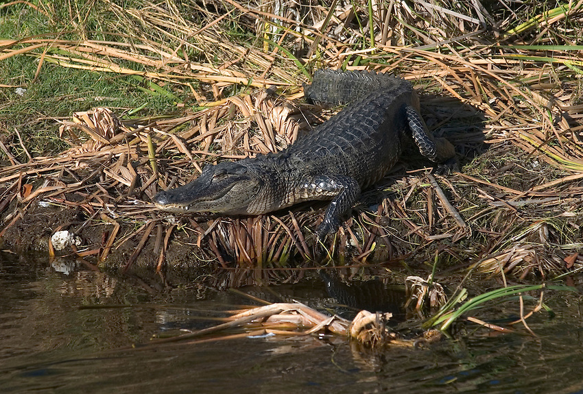 An American alligator (Alligator mississippiensis) suns on the banks of a canal in the Everglades of South Florida