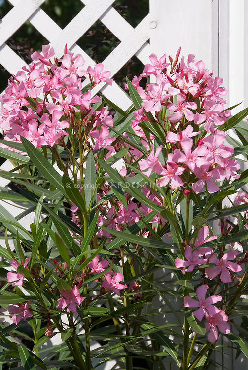 Oleander nerium in bloom next tot white fence with Asparagus fern
