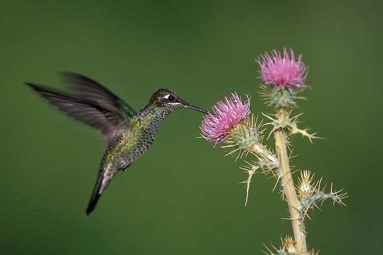 Magnificent Hummingbird - Eugenes fulgens