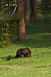 Blond faced brown bear with spring cub in Yellowstone National Park, WY