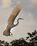 Great Whie Heron in flight