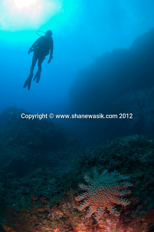 A diver looks down at a Crown of Thorns Starfish (Acanthaster planci) on a reef at the Meyer Islets, near Raoul Island, Kermadecs, New Zealand.