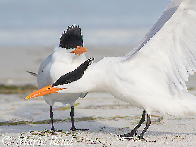 Royal Terns (Sterna maxima), one stretching, Fort De Soto Park, Florida, USA
