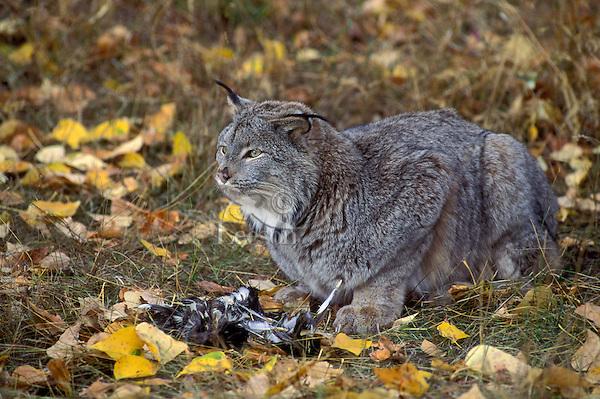 LYNX with blue grouse feathers at feet..Autumn. Rocky Mountains..(Felis lynx canadensis).