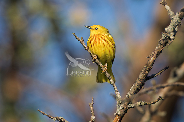 Yellow warbler (Dendroica petechia).  Point Pelee National Park, Ontario. Canada. Lake Erie. Spring.