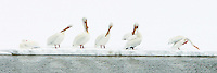 American White Pelicans (Pelecanus erythrorhynchos) like to come together in groups of a handful of birds or so to feed, as they can thus cooperate and chase fish to one another. During their May breeding season, in Yellowstone and elsewhere, their enormous orange bills produce a laterally flattened horn on the upper mandible. Here they are all preening and it looks like the party is on! Above LeHardy Rapids, Yellowstone River, Yellowstone.
