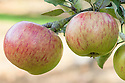 Apple 'Annie Elizabeth', late September. An English culinary apple raised in 1857 by Samuel Greatorex at Knighton St Mary, Leicester. Named after his daughter.