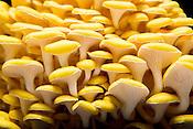 Apex, North Carolina - Monday March 21, 2016 - Golden Oyster mushrooms from Fox Farm.