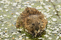 Muskrat (Ondatra zibethicus) feeding on crab apple blossoms and duckweed.  Great Lakes Region.  May.