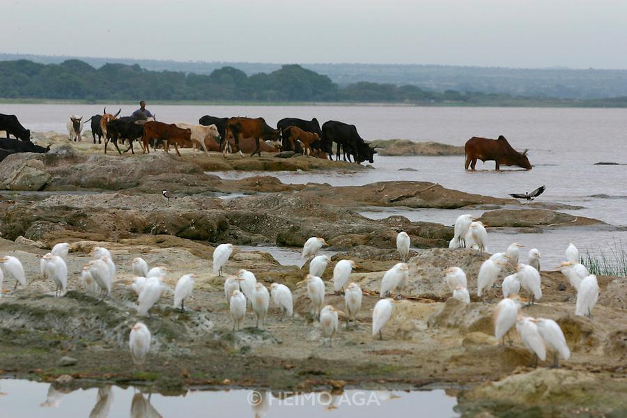 LAKE LANGANO, RIFT VALLEY, SHEWA/ETHIOPIA..Morning at the lake, near Bishangari Lodge. Cows and cow egrets..(Photo by Heimo Aga)