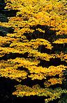 Sunrise with Autumn leaves  Olympic Penninsula Washington State USA