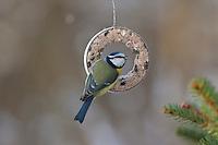 Blaumeise, an der Vogelfütterung, Fütterung im Winter bei Schnee, am Meisenring, Meisenknödel, Fettfutter, Winterfütterung, Blau-Meise, Meise, Cyanistes caeruleus, Parus caeruleus, blue tit