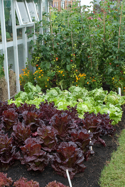 Veg Garden With Lettuce And Tomatoes Plant Flower Stock Photography