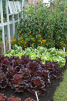 Lettuce Webb's Wonderful, Tomato Shirley, Red lettuce Stealth, greenhouse, second kind of red lettuce, plant label tags in ground, growing in mixed vegetable garden with marigold Tagetes flowers