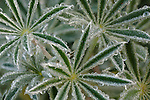 Detail of morning dew on lupine leaves, Schooner Gulch, near Point Arena, Mendocino County, California