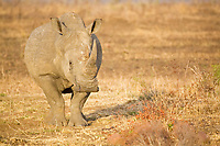 White Rhinocerus (Ceratotherium simum), Kruger National Park, South Africa, Africa