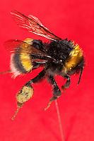 Erdhummel, Hummel, mit Pollenhöschen, Pollenpaket, Pollen am Hinterbein, Sammelbein, Arbeiterin, Bombus terrestris oder Bombus lucorum