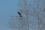 Bald eagle taking flight in northern Wisconsin